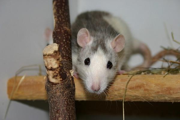 Укусила крыса толкование сна