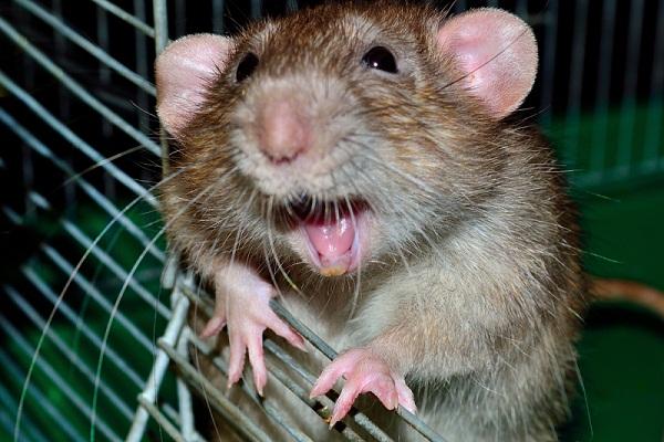Приснилось, как напала крыса