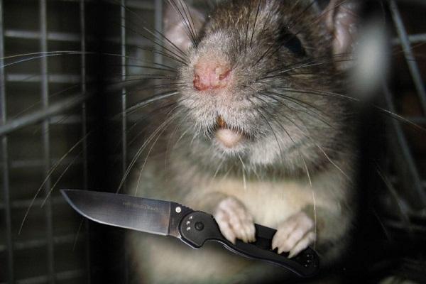 Крыса нападает во сне - что значит