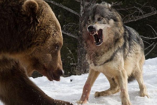 К чему снится нападение волка