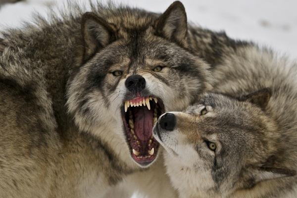 Приснилось, как напал волк